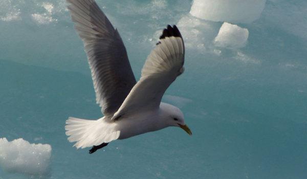 Måke i luften på Svalbard