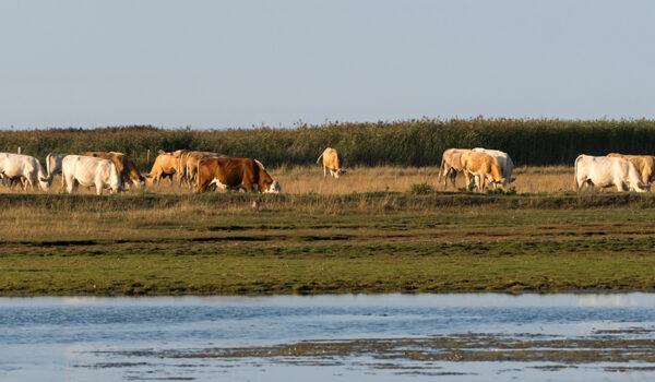 Kuer i våtmarksområde på Øland